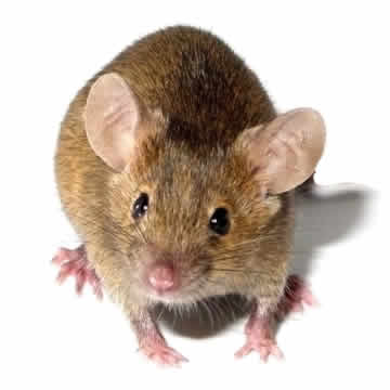 Rat Control Service DIY