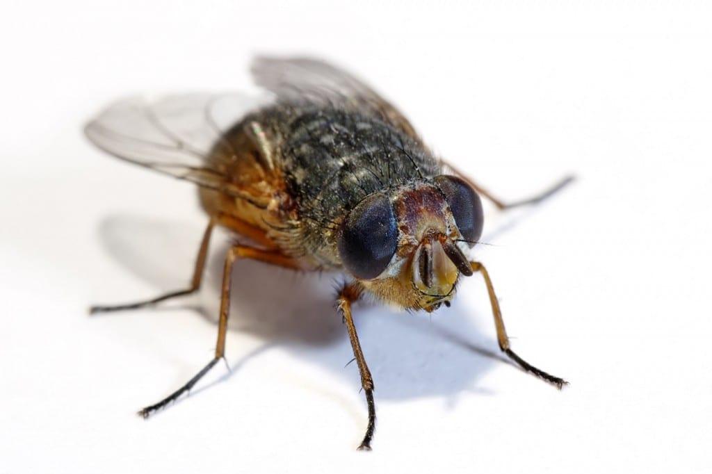 Common flies