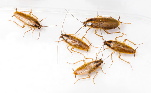 German Cockroaches Control Tips