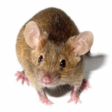 Rat Management Hills District NSW