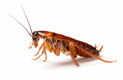 Cockroach vermin and removal