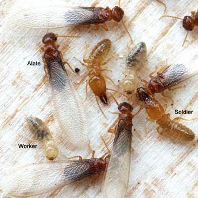 Termites Control Sydney