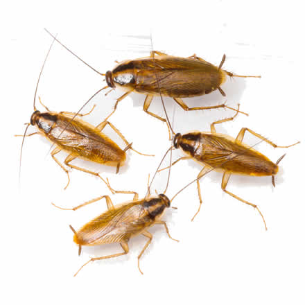 Removing Cockroaches in Bella Vista