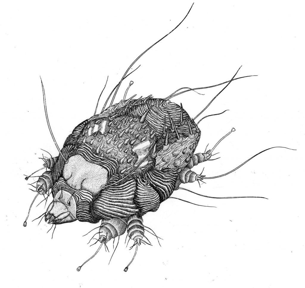 Scabies Mite