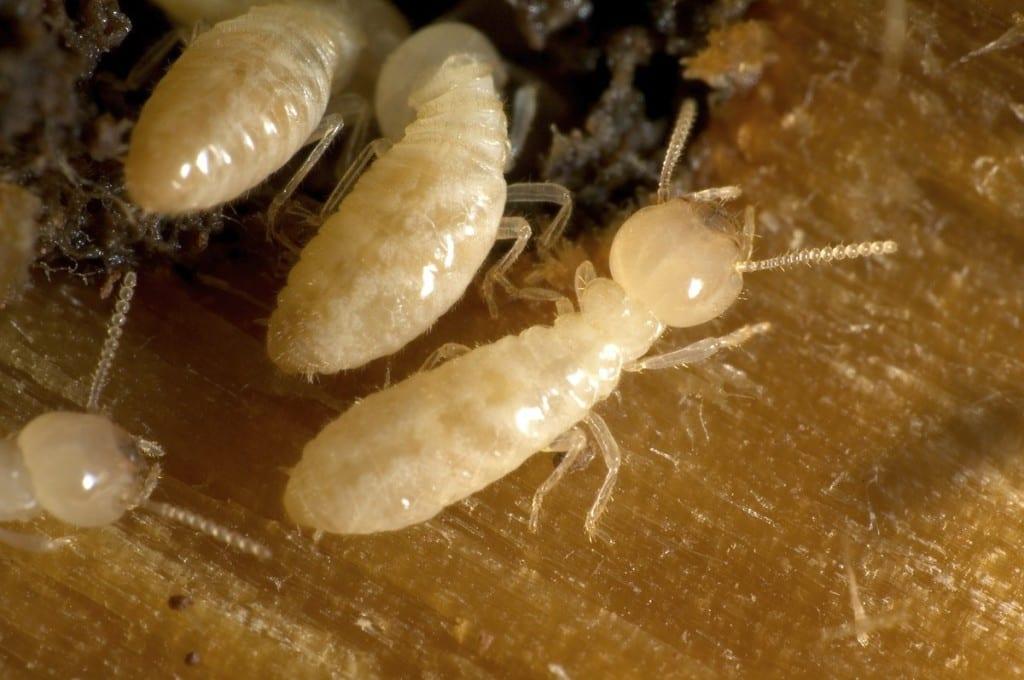 Termite Control Sydney