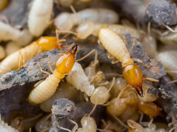 Termites Pest Control Sydney