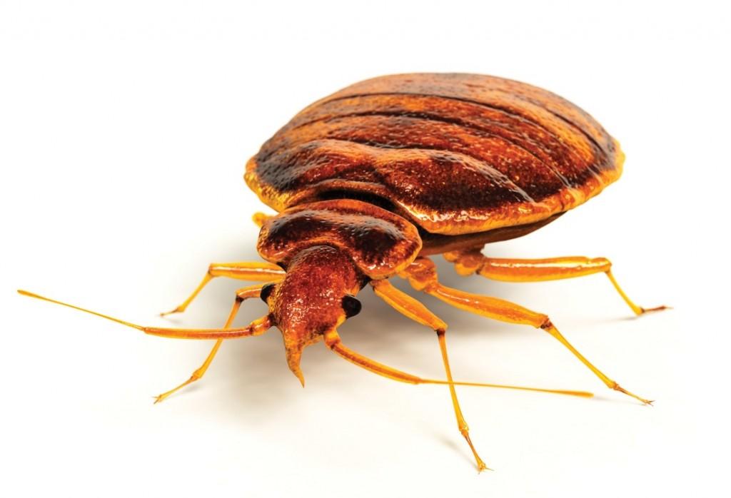 Masters Pest Control Sydney Redfern Bed Bugs