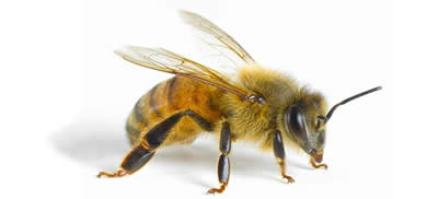 Bees Castle Hill Pest Control