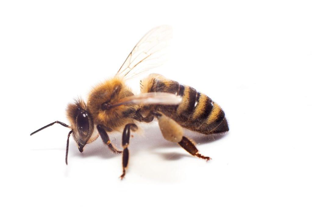 1500 native bee species