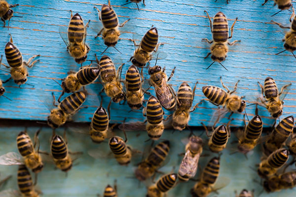 Bees Pest Control