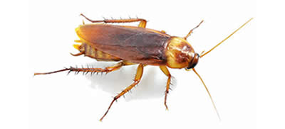 Pest Control Cockroaches Greystanes