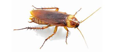 Pest Control Cockroaches Parramatta
