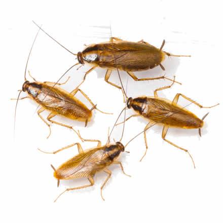cockroaches pest control Sydney