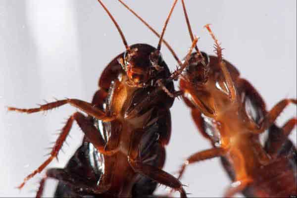 Pest Management Sydney Cockroaches