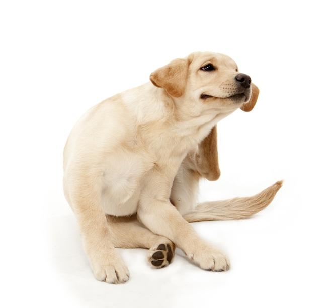 Dog beaten by fleas