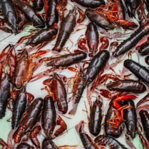 Termites-Common-in-Australia