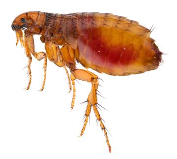Flea treatment tips