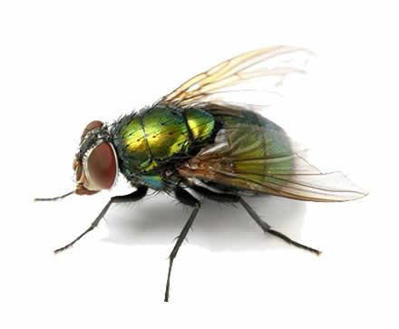 flies pest Sydney