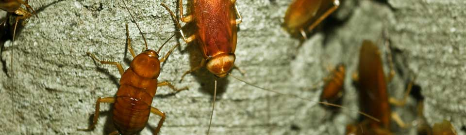 get rid of cockroach infestation in your home