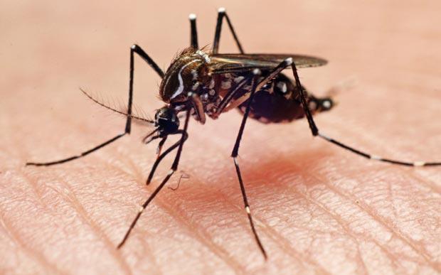 Mosquito populations rapidly multiplying