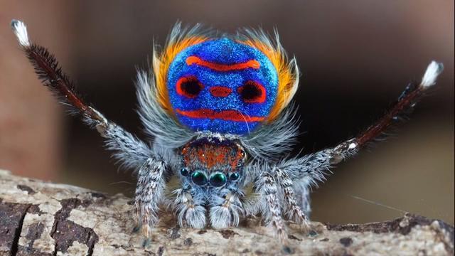 peacock sapphire spider
