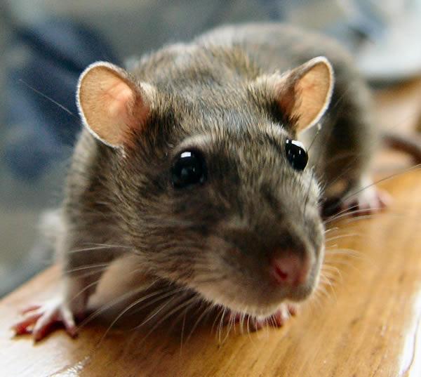 Masters Rats Control Sydney
