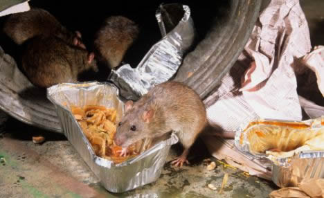 rat eating leftover food