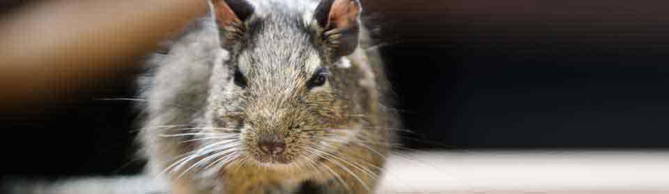 Sydney rat pest control