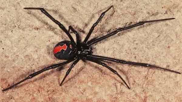 Pest Sydney Redback Spider
