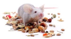 rodents control food processing