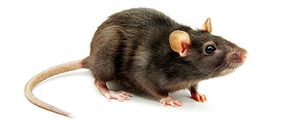 Pest Control Rodents Penrith