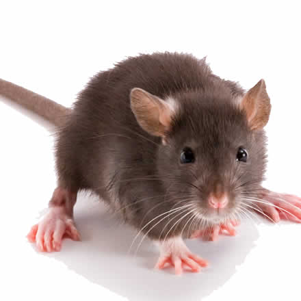 Rodents control services