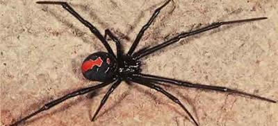Pest Control Spiders Greystanes