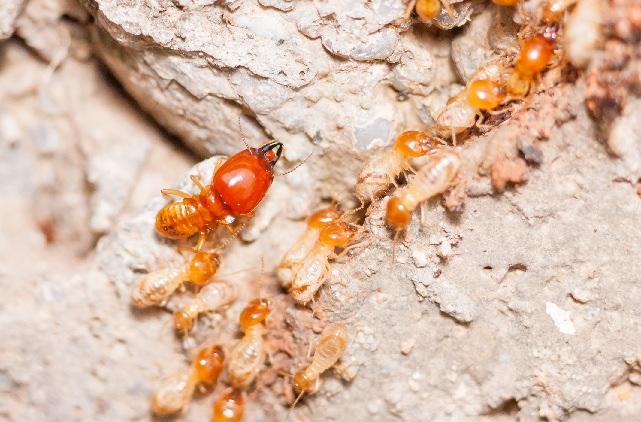 termite-barrier-termite