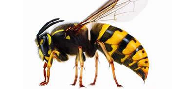 Pest Control Wasps Sydney